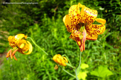 Tiger Lillies, North Cascades NP, WA