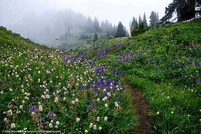 Olympic Wildflowers, Bailey Range Traverse, Olympic National Park, WA