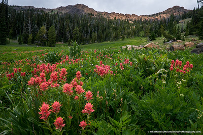 Indian Paintbrush, Bean Creek Basin, WA