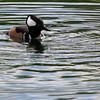Westmoreland Duck