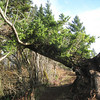 Fallen Tree Viewpoint <FONT SIZE=1>© Chiyoko Meacham</FONT>