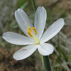 A White Grass Widow. <I>Olsynium douglasii</I>
