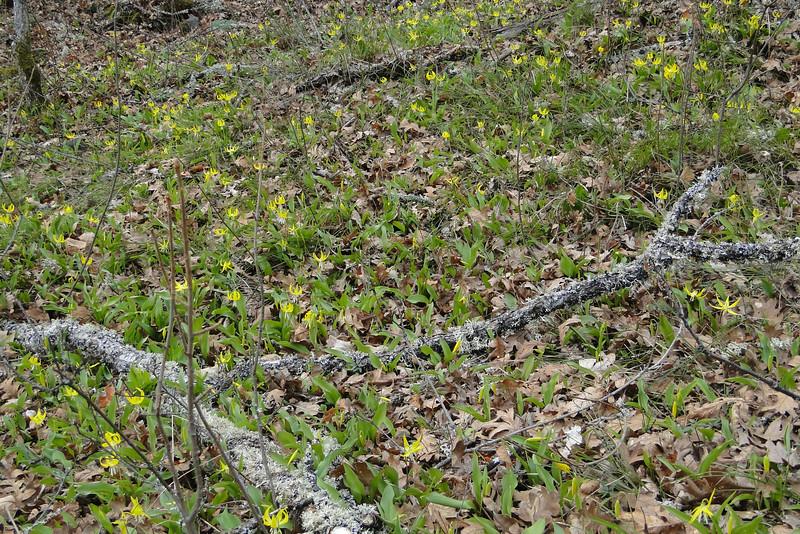 In the Oak woodland near the powerlines we found lots of Glacier Lilies (& Poison Oak!) <I>Erythronium grandiflorum</I>