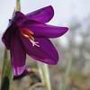 Grass Widow <I>Olsynium douglasii</I>