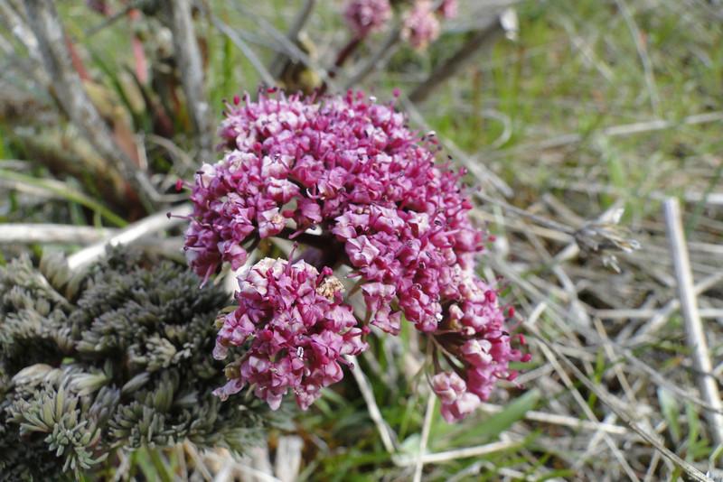 Columbia Desert Parsley <I>Lomatium columbianum</I>