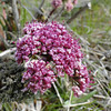 Columbia Desert Parsley <I>Lomatium columbianum</I>