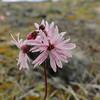 Woodland Star <I>Lithophragma parviflorum</I>