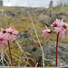 Woodland Star <I>Lithophragma parviflorum</I>