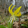 In the Oak woodland near the powerlines we found lots of Glacier Lilies (& Poison Oak!) <I>Erythronium grandiflorum</I>