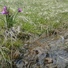 Grass Widow. <I>Olsynium douglasii</I>