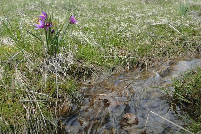 Grass Widow. <I>Olsynium douglasii</I>