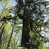 Perhaps the only surviving Old Growth Fir on Cedar Mountain.