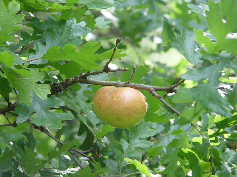 No its not an apple on an Oak! It's Oak Gaul.