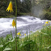 Glacier Lilies above Twister Falls