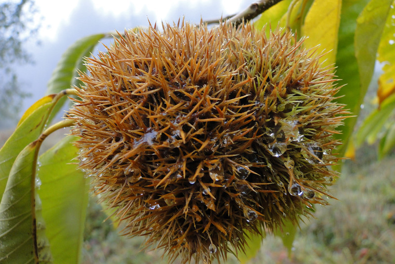 Chestnuts at the High Valley old Orchard.