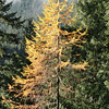 Larch Fall Colour