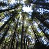 Trees.... <FONT SIZE=1>© Chiyoko Meacham</FONT>