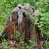 This stump marks the point where we left the trail & headed up the West side of Phlox Point.
