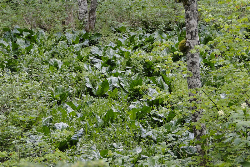 Skunk Cabbage Flats.