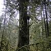 Giant Old Growth Cedar.
