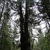 Giant Old growth Cedar