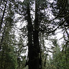 Giant Old growth Cedar