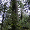 Old Growth Douglas Fir.