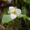 Trillium - Spring is here!
