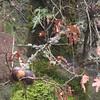 Oak Galls <FONT SIZE=1>© Chiyoko Meacham</FONT>