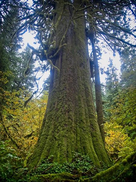 The larch Mt Cedar