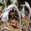 Indian Pipe / Ghost Plant <I>Monotropa uniflora</I>