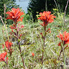 Indian Paintbrush on the Meadow Ridge.