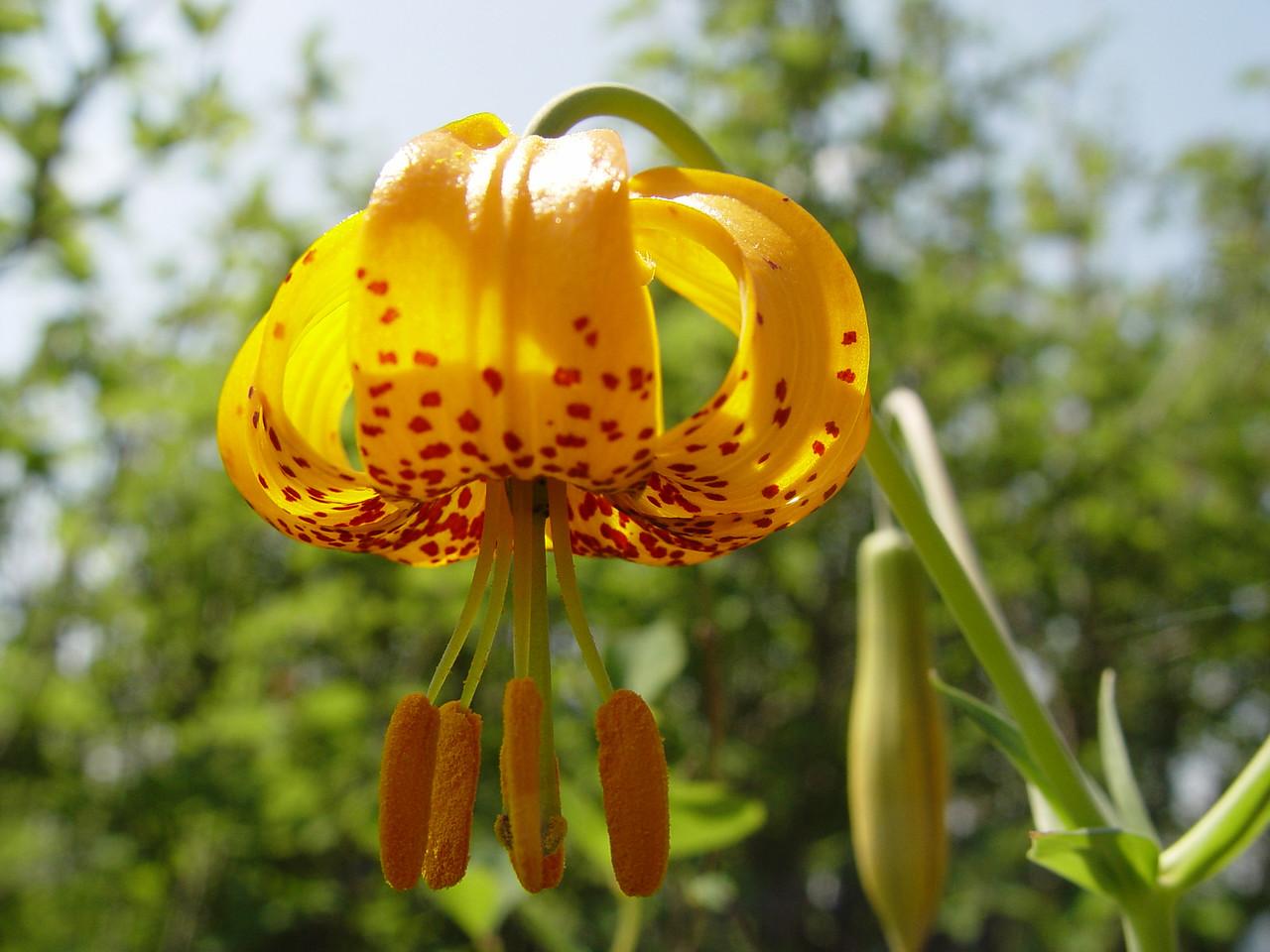 Lilium columbianum - Tiger Lilly