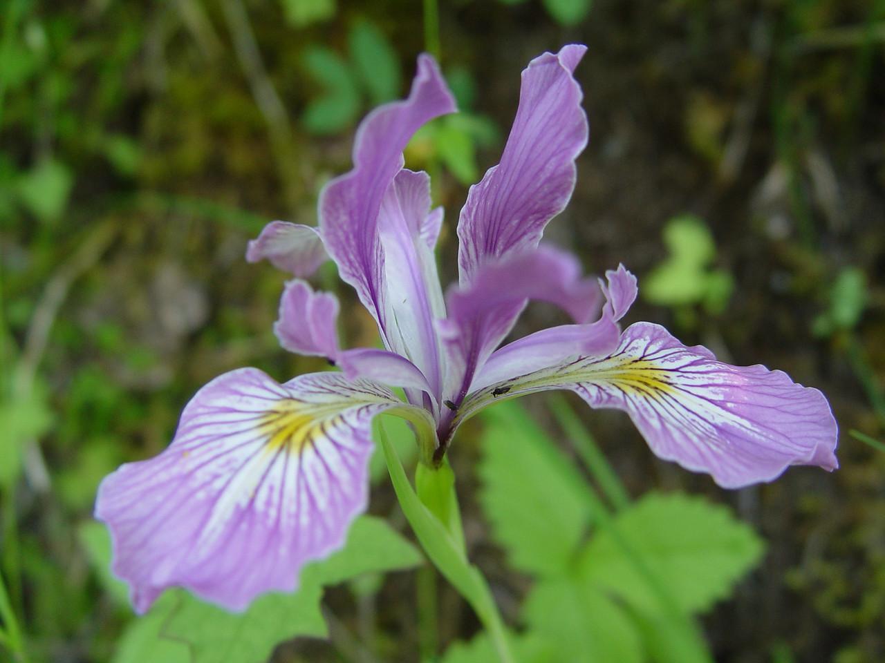 Iris tenax - Oregon Flax