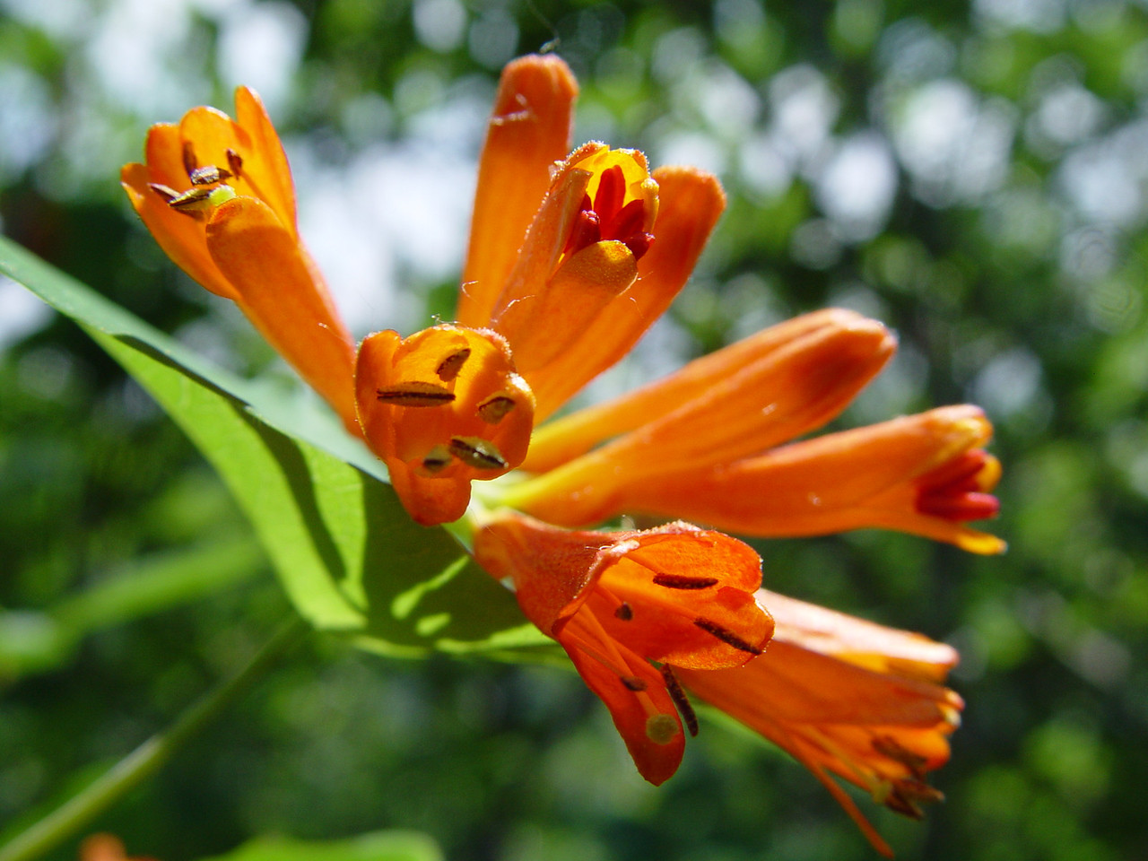 Lonicera ciliosa - Orange Honeysuckle