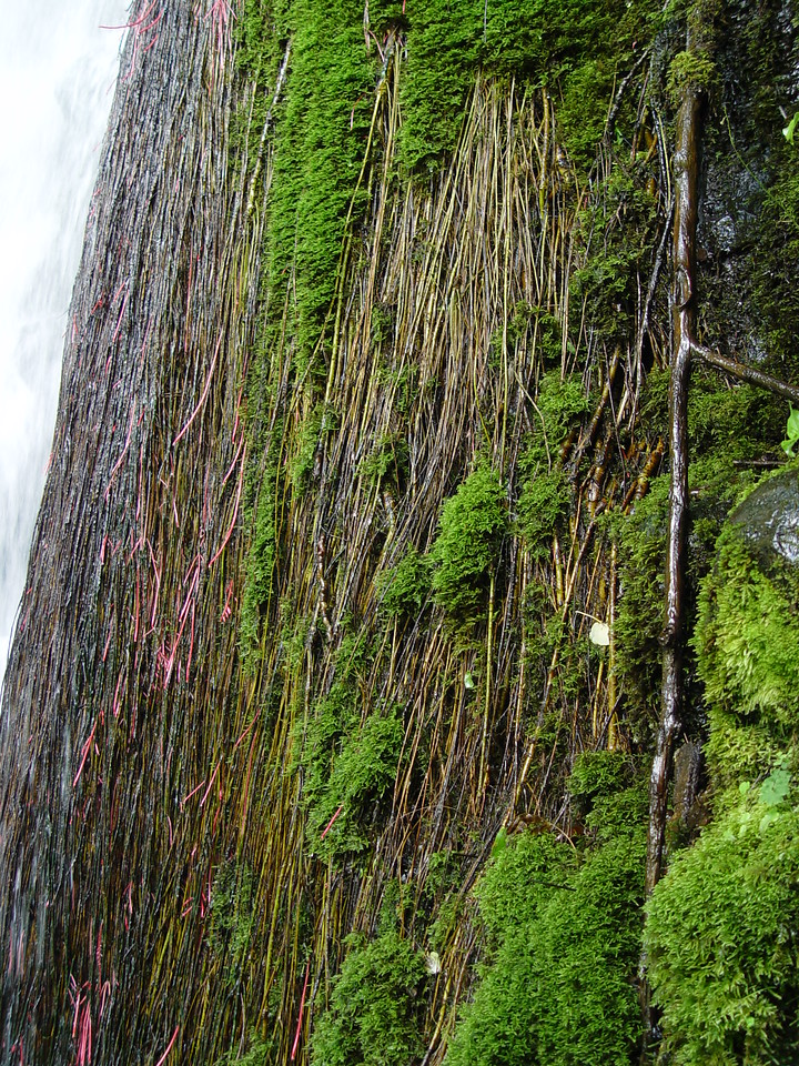 A mas of Willow roots & moss growing on the side of the falls.
