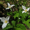 Trilliums in July!