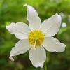 <I>Erythronium montanum</I> Avelanche Lilly