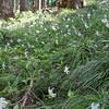 <I>Erythronium montanum</I> Avalanche Lilies