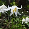 The Avalanche Lilies along the trail were in full force & putting on a great display.