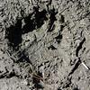 Bear Footprints at Perry Lake