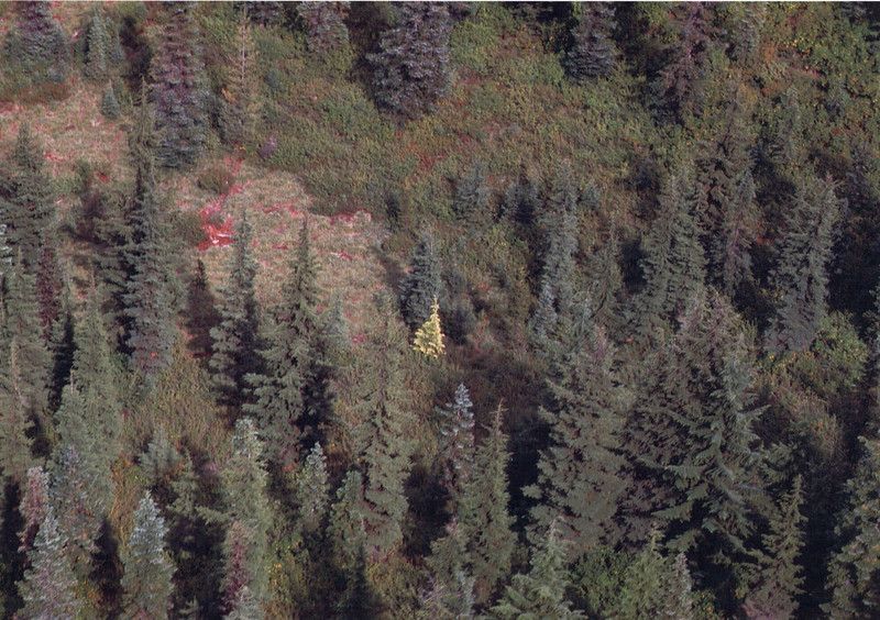 The golden Tsuga was spotted when flying over the Cascades.
