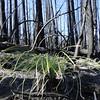 Vista Ridge Trail.<br /> A lone surviving Bear Grass.