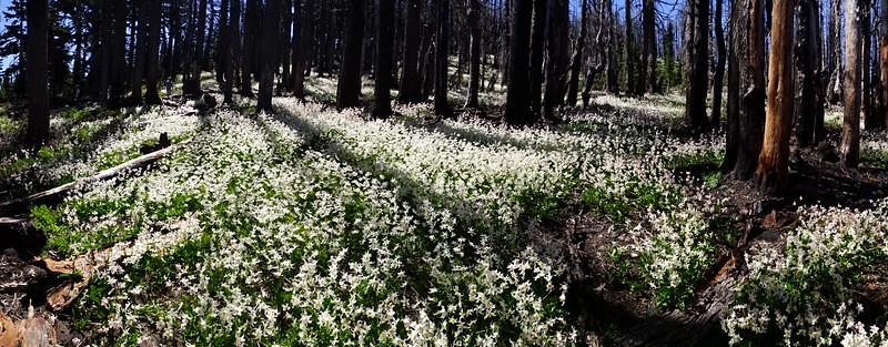 Vista Ridge Lilies & Barrett Spur - 2015/06/14