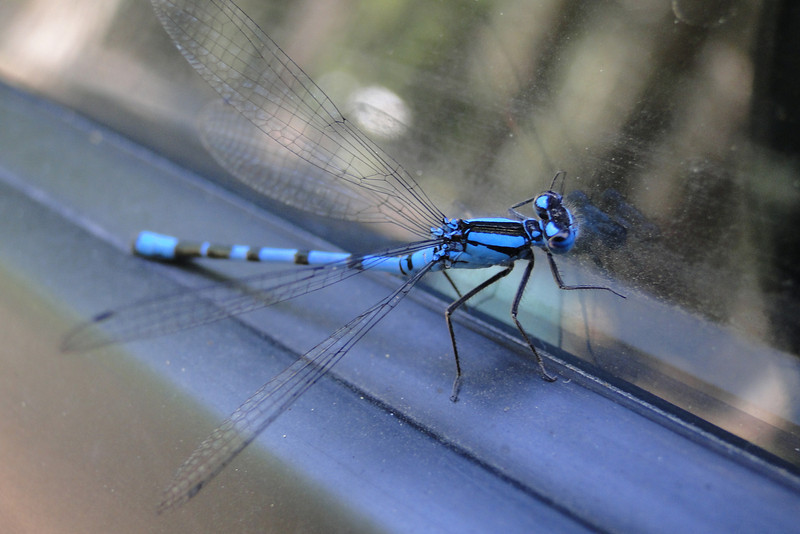 Lots of these around Diamond Lake - Blue Darters I think?