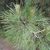 Pinus ponderosa <FONT SIZE=1>© Chiyoko Meacham</FONT>
