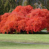A great Japanese maple in fall colour in Parkdale. Probably Acer palmatum 'Viridis'.