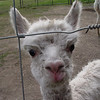 A curious baby alpaca - 1 week old.