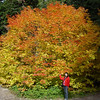 A huge Vine Maple at Lost Lake.