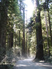 """<FONT COLOR=""""yellow"""">Stout Grove:</FONT> The first stop on our Trip, Howland Hill Road is about 6 miles long and winds through the Redwoods of Jededhia Smith State Park. It's also the road you need to take for the Stout Grove Trail."""